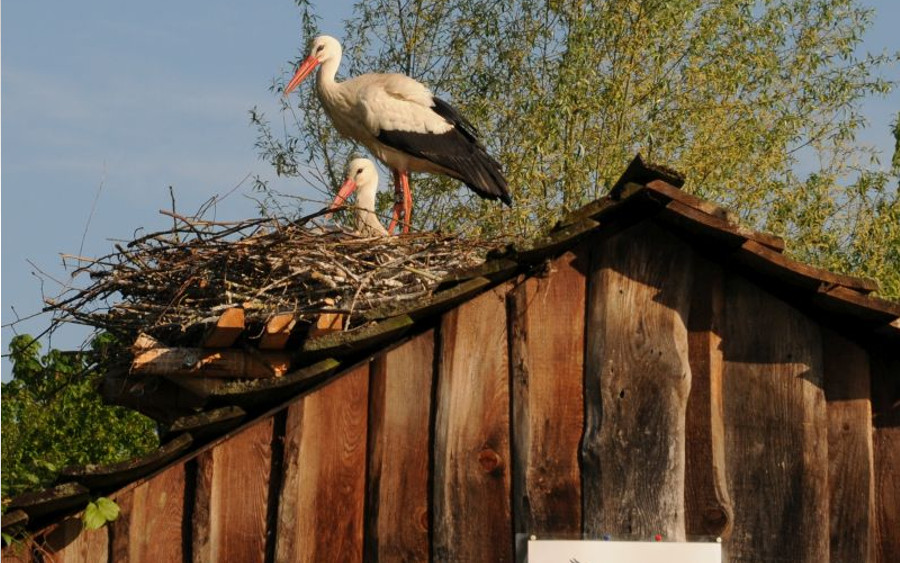 NABU auf Namenssuche für neues Storchenpaar in Leiferde