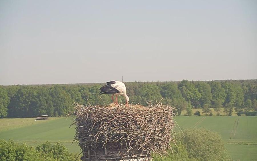Nachwuchs bei Fridolin und Mai: Drei kleine Storchenköpfe im Nest zu sehen – auch via Webcam