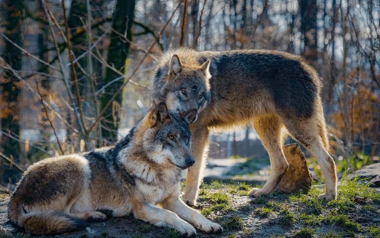 Bäumer: Bundesumweltministerin muss sich in Wolfsfrage bewegen