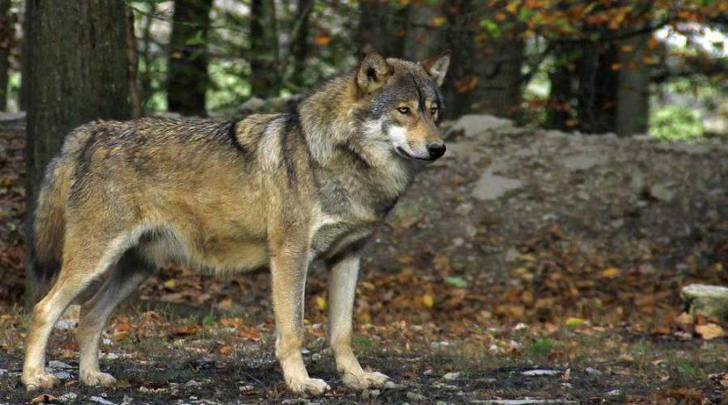 Diskussion um Zunahme der Wolfspopulation