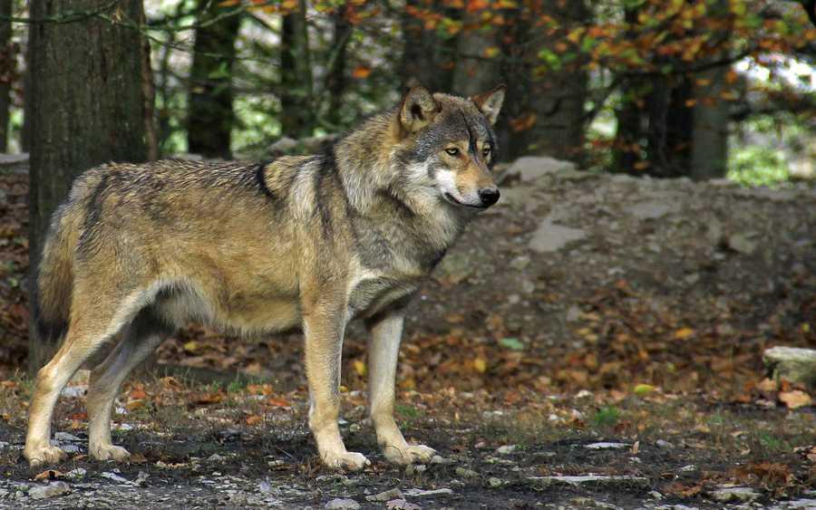 Celler Grüne fordern Weidetierprämie statt Wolfsjagd