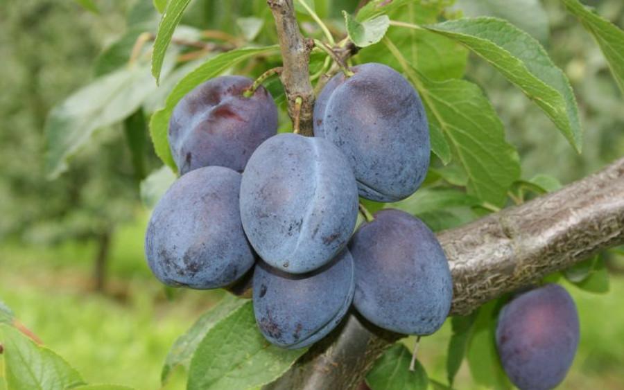 Pflaumenernte: Vorfreude über gute Erträge und gute Qualität – Trockenheit macht Obstbauern im Alten Land bisher nur wenig zu schaffen