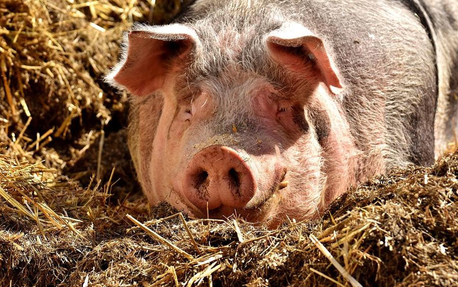 Landkreis spielt Krisenszenario mit Afrikanischer Schweinepest durch