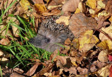 Junge Igel nicht einsammeln – Igeln durch naturnahe Gartengestaltung helfen