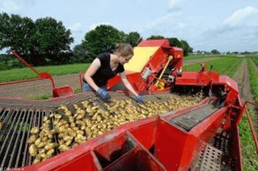 Kartoffelernte auf historisch niedrigem Niveau