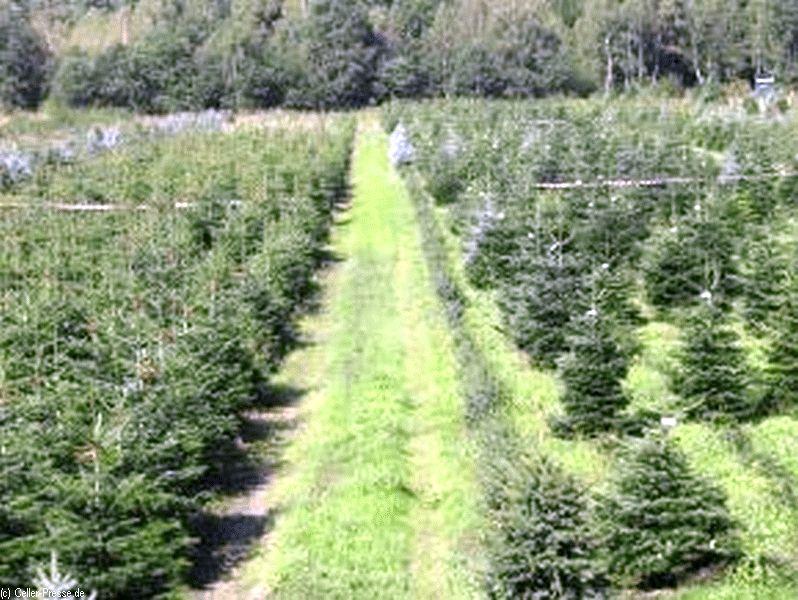 Kleine, aber feine Weihnachtsbäume im Topf sind Trend