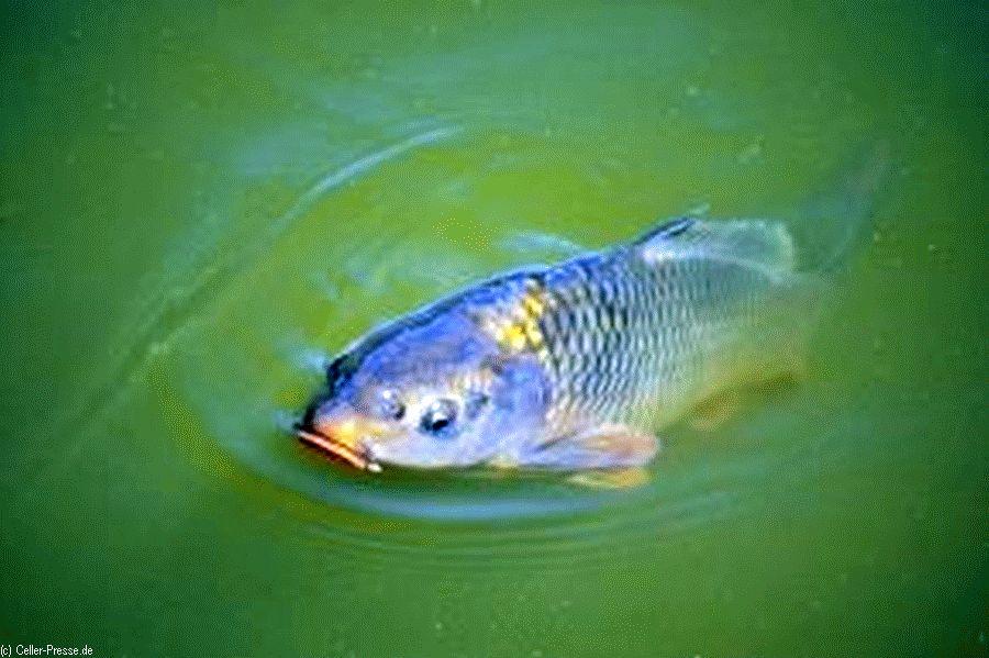 Karpfen ist der Festtagsfisch in Niedersachsen