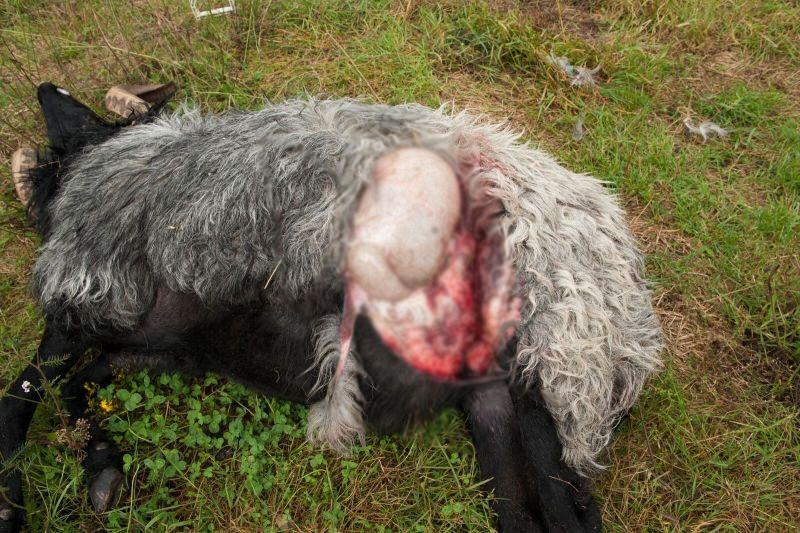 Fehlendes Wolfsmanagement verursacht tiefen Frust