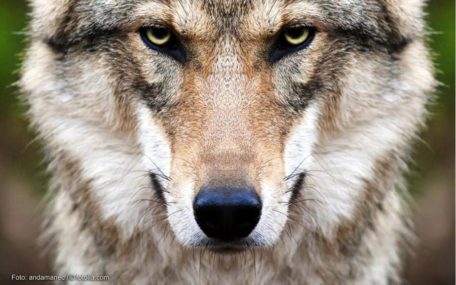 Wolfsmanagement muss den Abschuss beinhalten