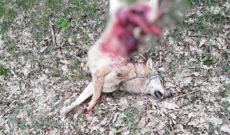 Wolf stirbt bei Verkehrsunfall