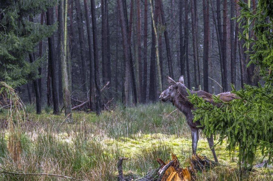 Einweihung des neuen Elchgeheges am 4. Mai – Der Wildpark Müden holt den Elch zurück in den Landkreis Celle