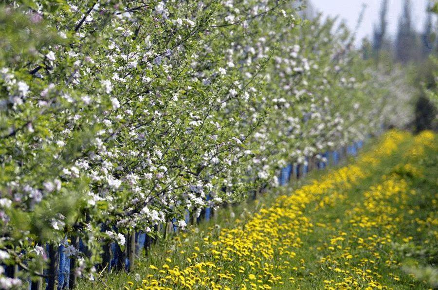 Obstbaumblüte passend zum Osterausflug