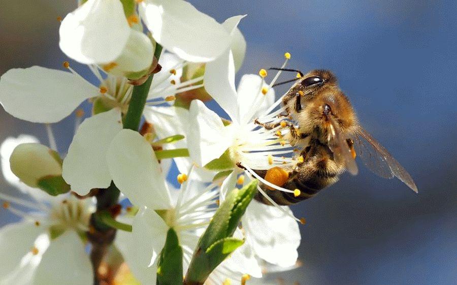 Obstblüte: Fleißige Bestäuber emsig unterwegs – Insekten sind unersetzlich für Erntemenge und -qualität