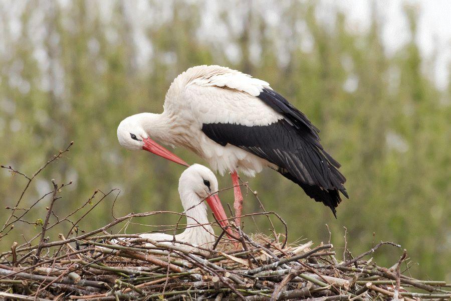 Storchenfest am 28. April im NABU-Artenschutzzentrum – Fridolin und Mai erwarten viele Besucher