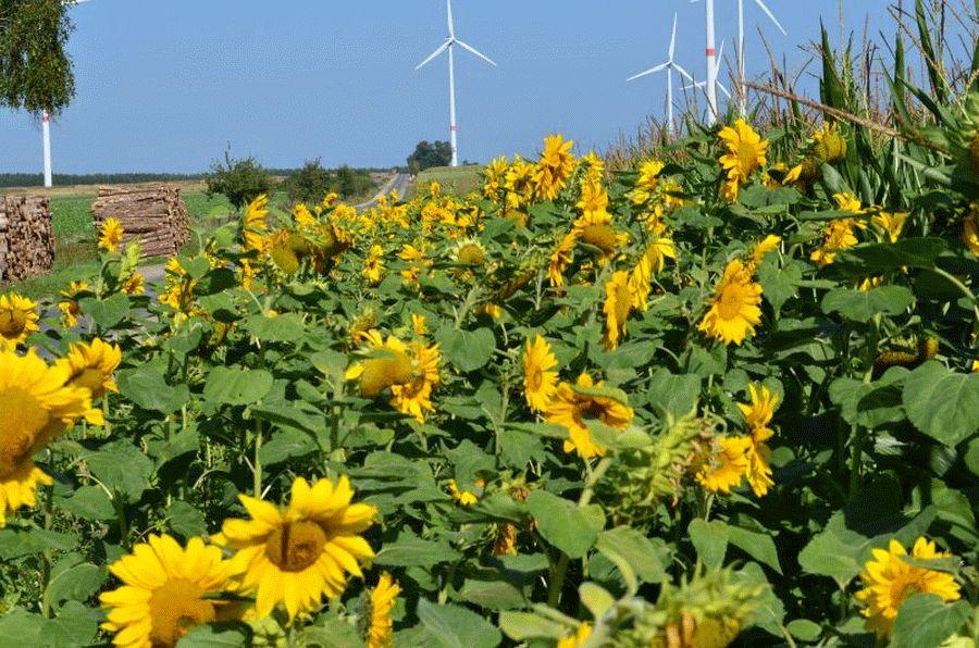 Auch Celler Landwirte bereichern mit Blühstreifen die Artenvielfalt – Bauern machen Deutschland bunter