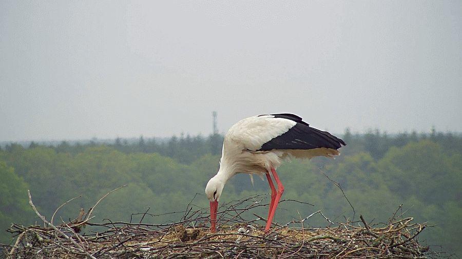 NABU: Nachwuchs bei Familie Storch – Per Webcam das Geschehen auf dem Horst beobachten