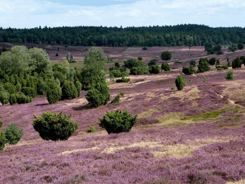 In der Heide brechen lila Zeiten an