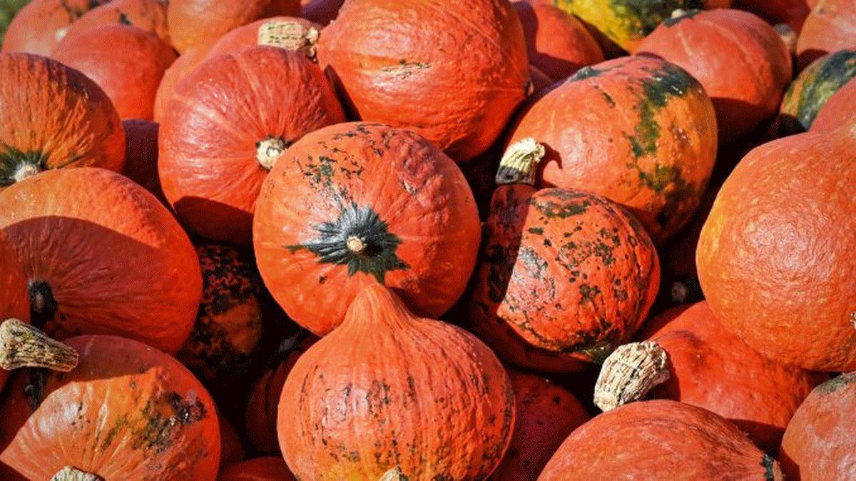 Für Magen und Auge ist jetzt Kürbiszeit! – Orange leuchtend sind die Riesengewächse der Hingucker schlechthin