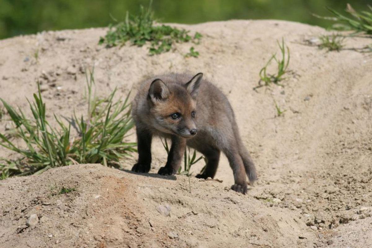 Ferienspaß beim NABU: Auf den Spuren von Fuchs und Dachs