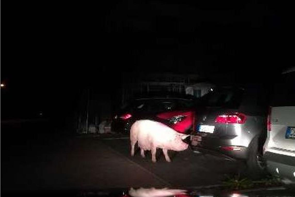 Schwein unternimmt nächtliche Besichtigungstour