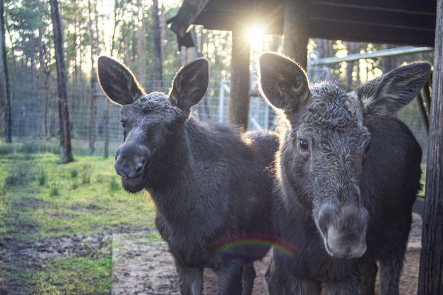 Weitere Elche für den Wildpark Müden