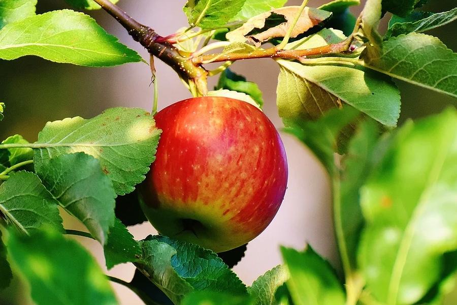 """""""… und Eva pflückt den Apfel ab"""" – Veranstaltung in der Celler Synagoge"""
