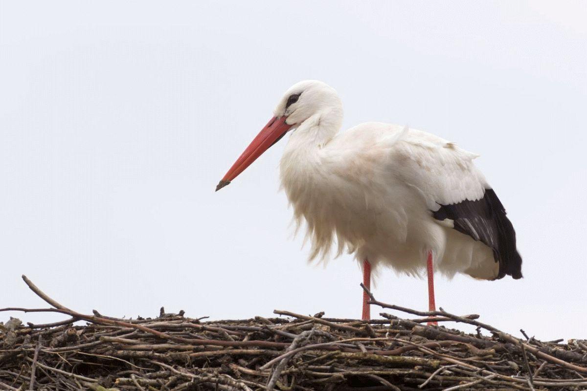 NABU: Fridolin bei stürmischem Wetter am Sonntag gelandet – Niedersachsens bekanntester Storch ist nach Leiferde zurückgekehrt