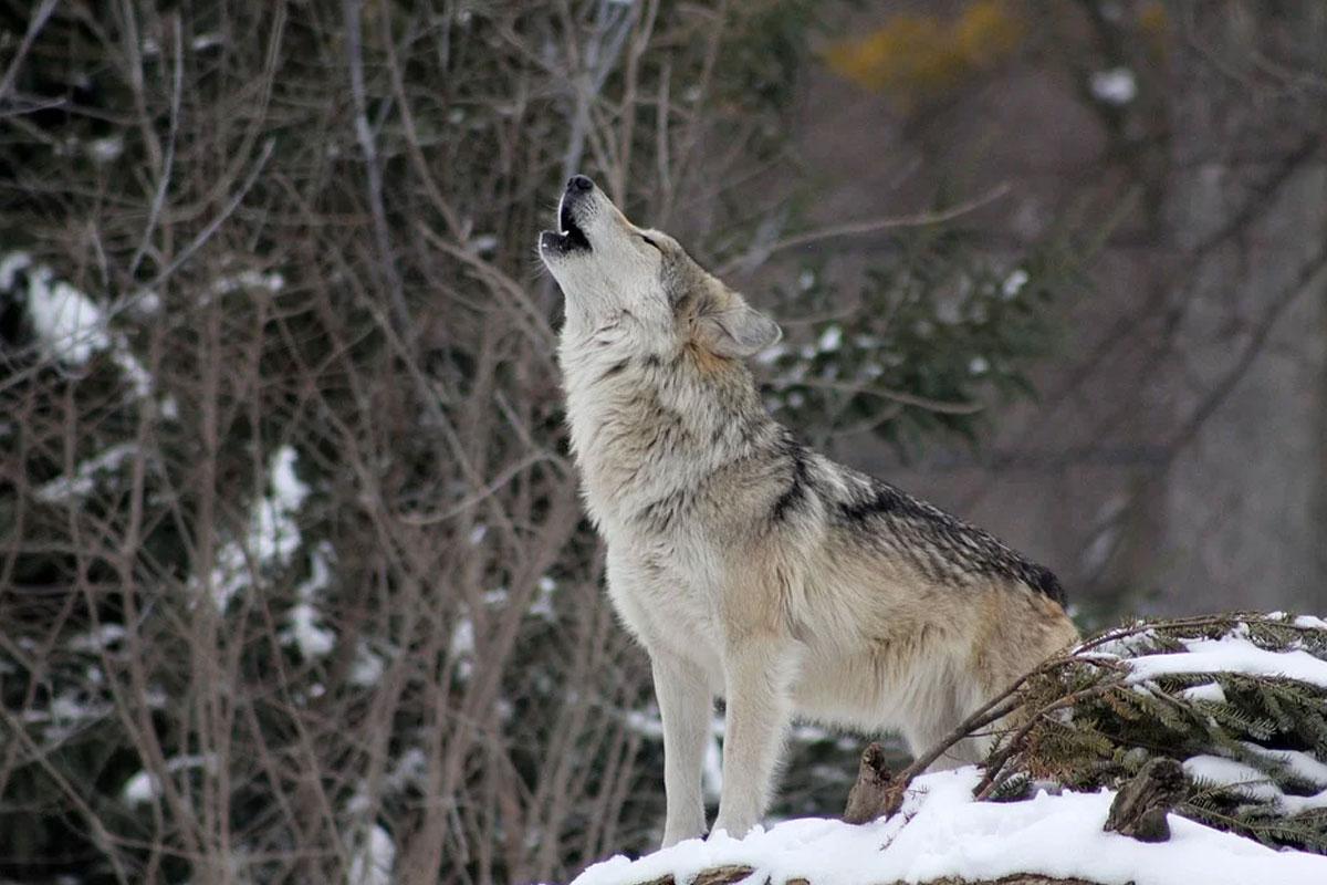 Bundesrat bestätigt Rechtssicherheit beim Abschuss von Wölfen