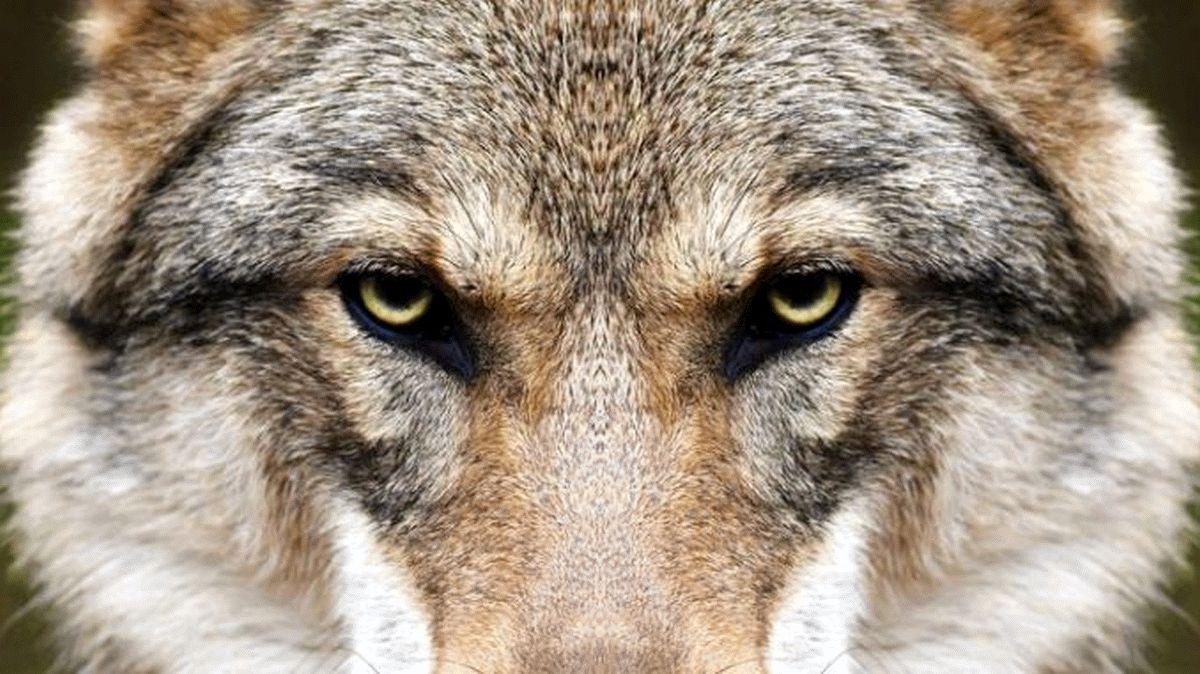 Abschussgenehmigungen sind richtiges Zeichen – Landvolk Niedersachsen will weitere Wolfsrisse bei Nutztieren verhindern
