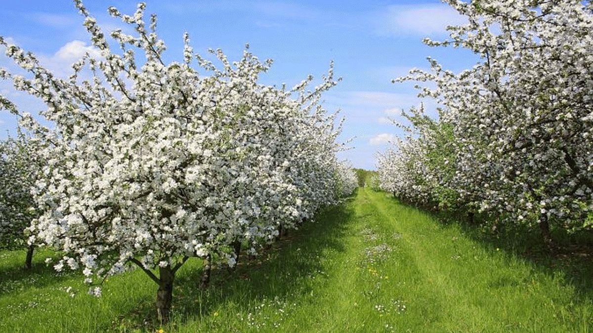 Ende April beginnt die Obstblüte
