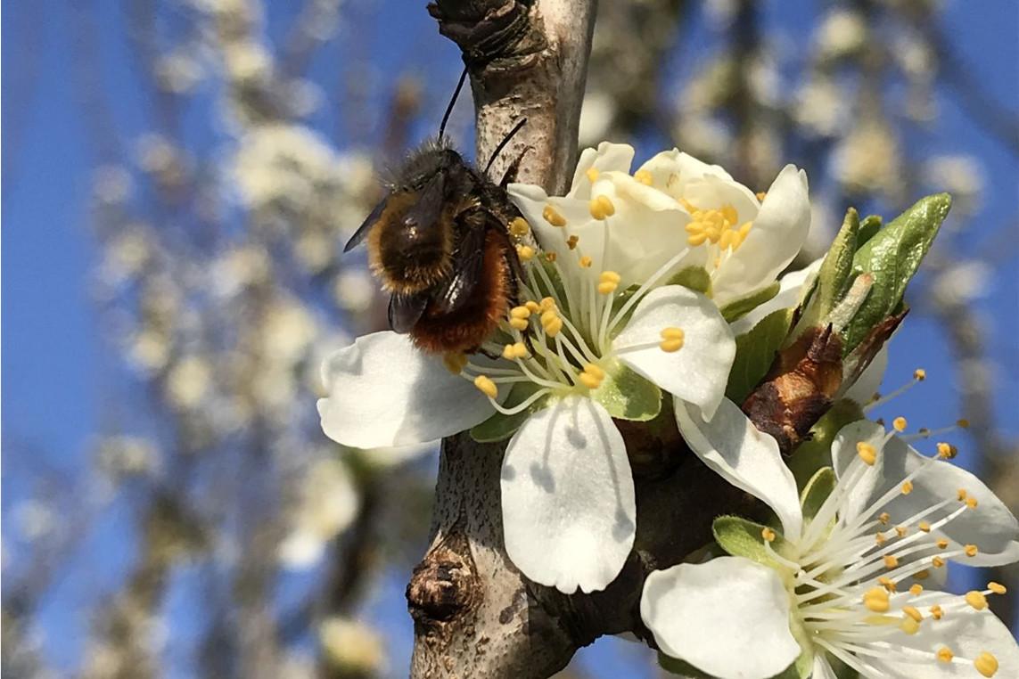 Farbenprächtige Obstblüte: Fleißige Bestäuber emsig unterwegs – Insekten sind unersetzlich für Erntemenge und -qualität