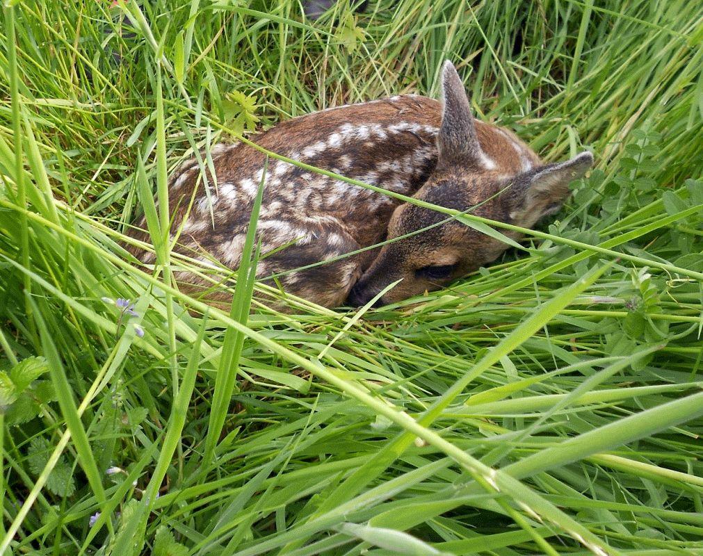 Grünland: Bei der Mahd auf Wildtiere achten – Jägerschaft, Landvolk und Landwirtschaftskammer sprechen gemeinsame Empfehlungen aus