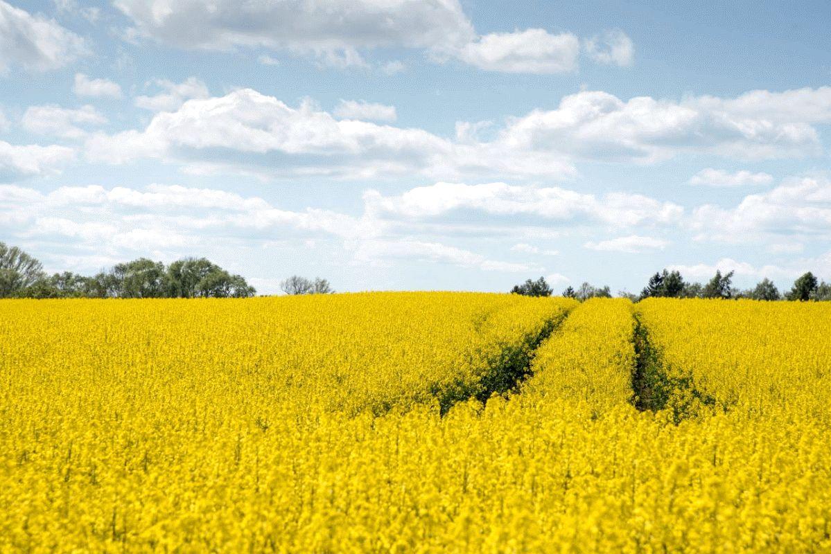 Rapsblüte: Gelbe Pracht für vier Wochen – Schwierige Wetterbedingungen und niedrige Preise lassen Anbauzahlen nur leicht steigen