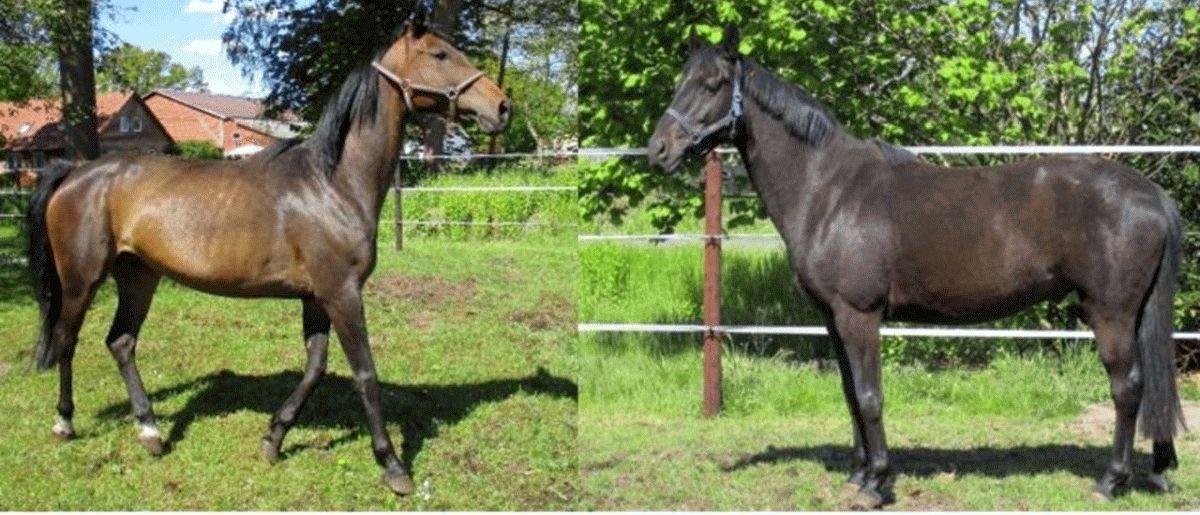 Landkreis versteigert zwei Pferde – Tiere wurden dem Halter im Februar entzogen