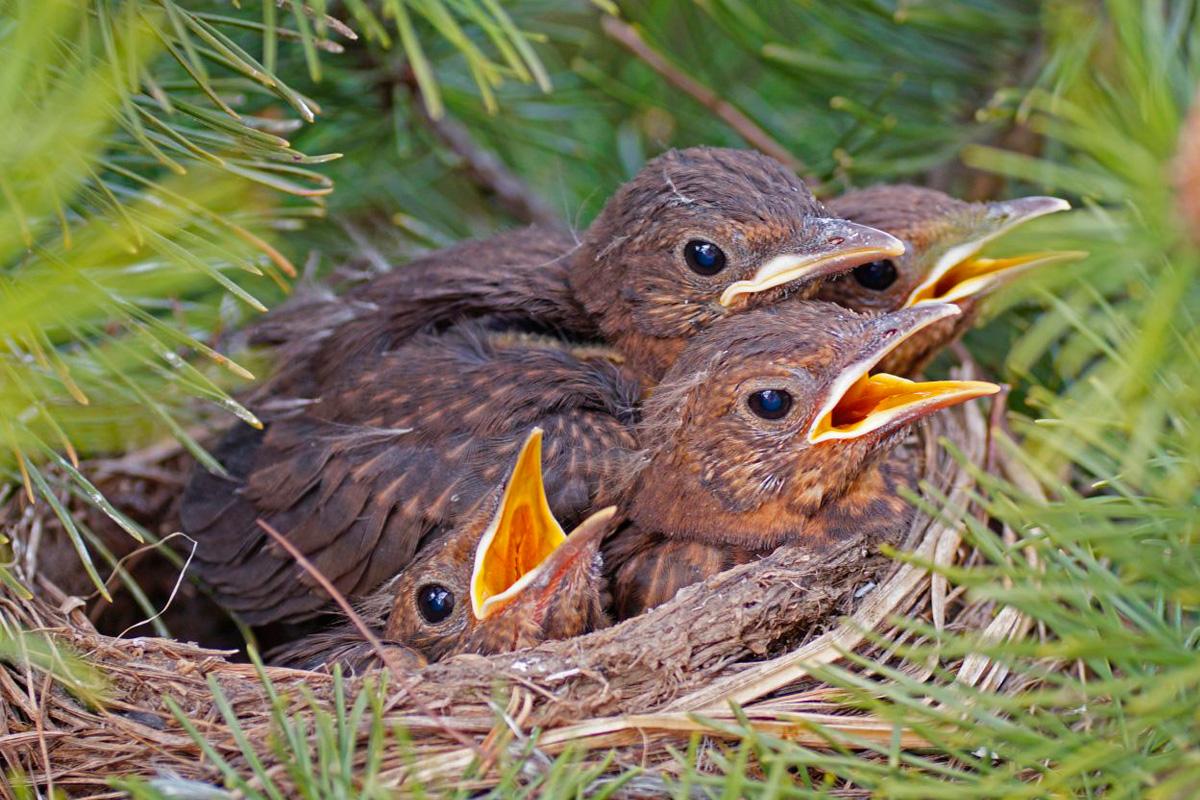 NABU-Artenschutzzentrum warnt vor der Mitnahme von Jungtieren – Jungvögel nur selten auf Hilfe angewiesen