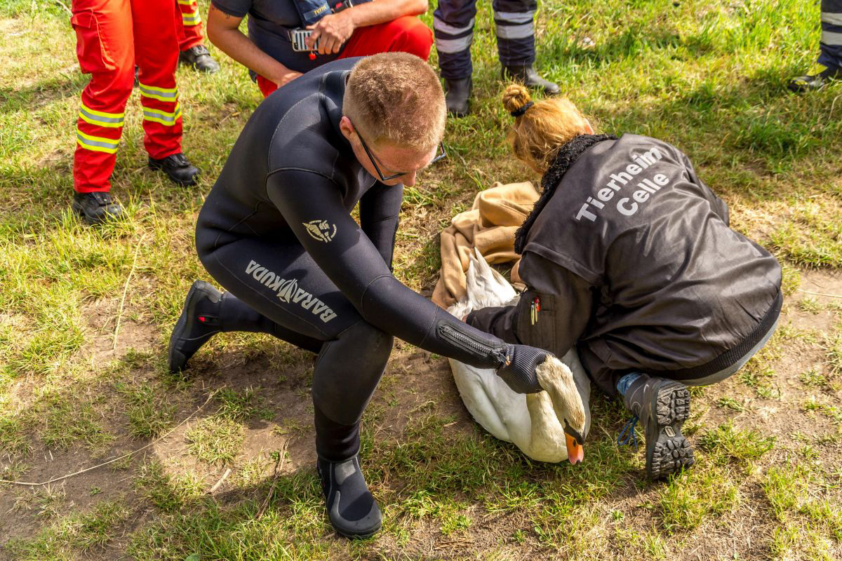 Verletzter Schwan treibt auf der Aller