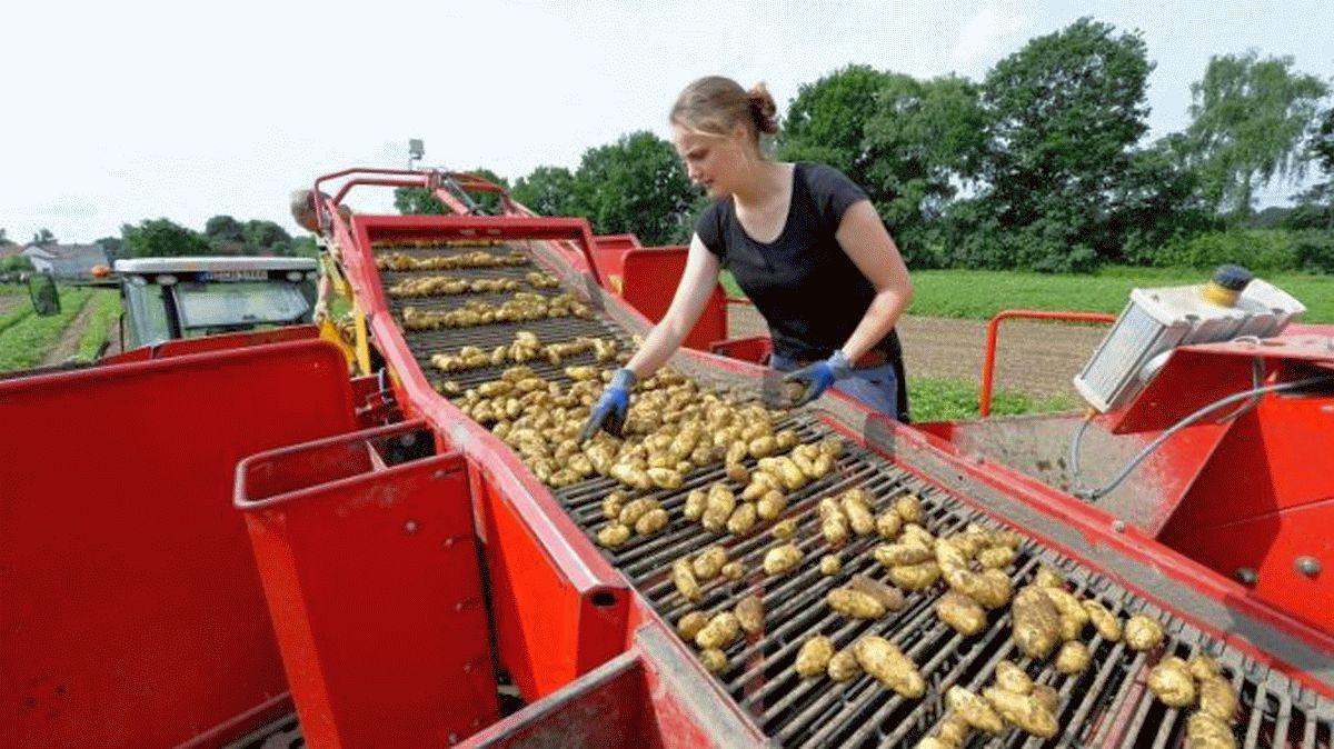 Corona wirbelt den Kartoffel-Markt durcheinander – Früher Erntestart, gute Qualität und normale Menge bei den Frühkartoffeln