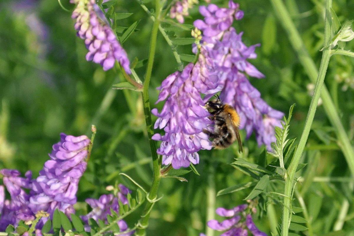 Wildblumenstreifen im Sinnes- und Bewegungsgarten Nienhagen locken Insekten an