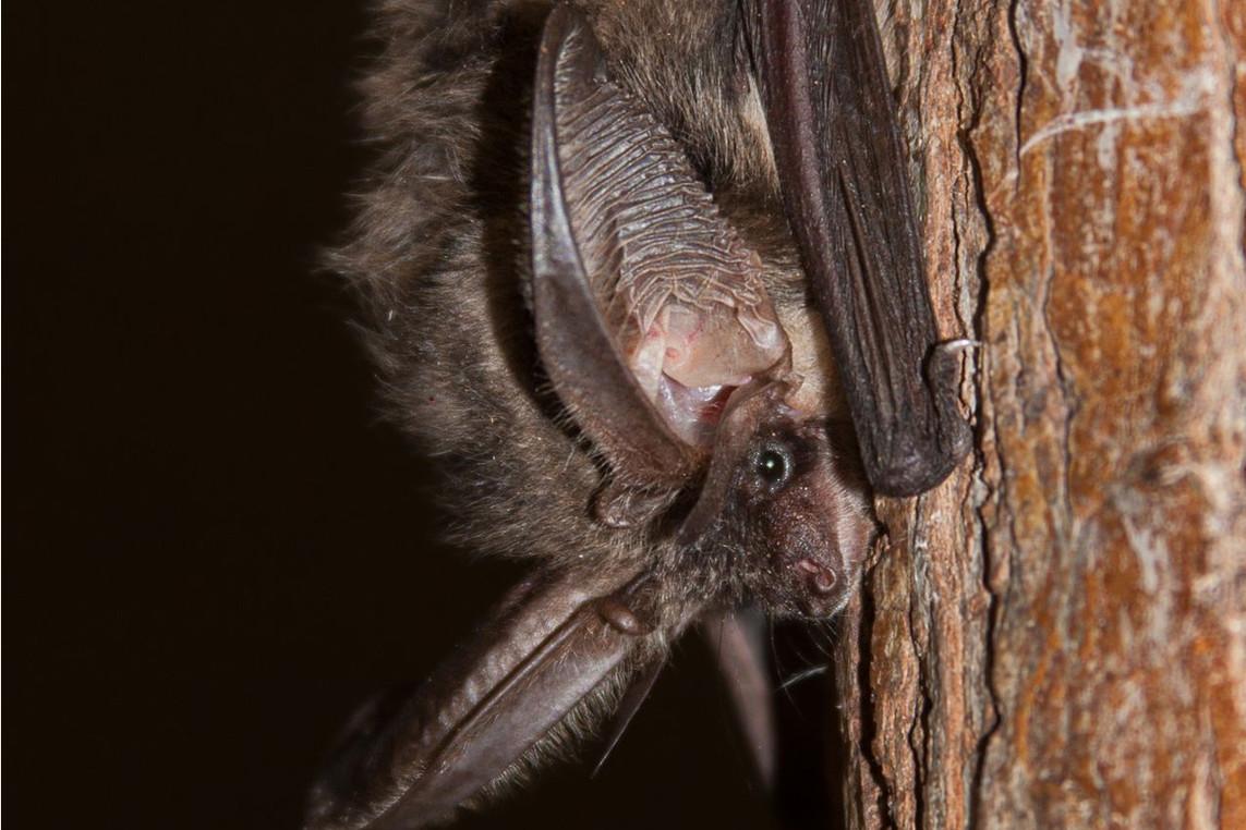 European Bat-Night – Fledermausentdeckungswanderung anlässlich der Europäischen Fledermausnacht