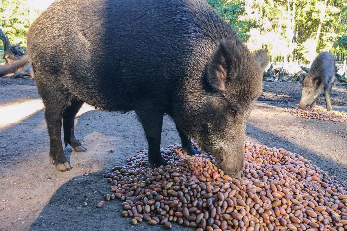 Große Eichel und Kastanien Sammelaktion für die Tiere des Wildpark Müden