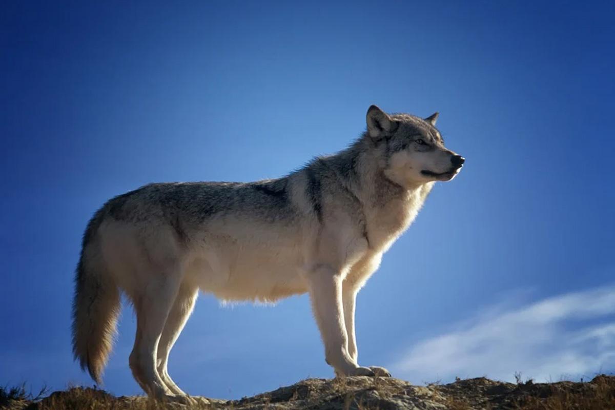 Schmädeke: Wolf wird in das Jagdrecht aufgenommen, Initiative der CDU erfolgreich