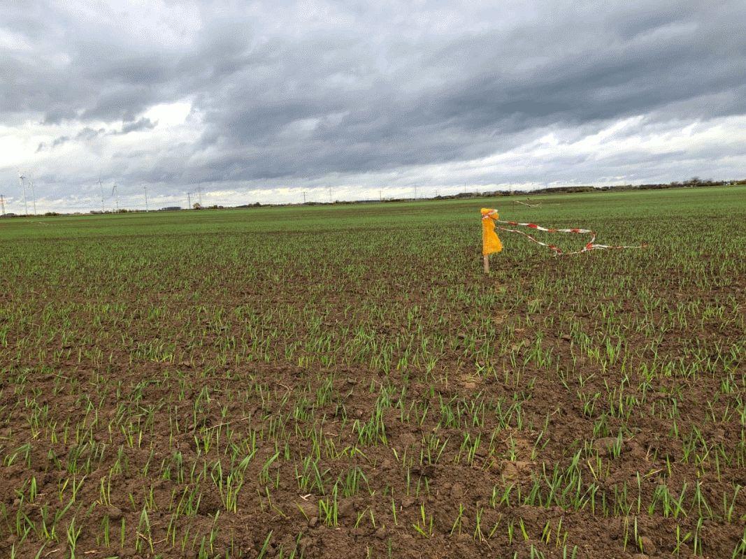 Gänsefraß richtet große Schäden an – Vor allem Regionen im Norden und Nordwesten Niedersachsens betroffen