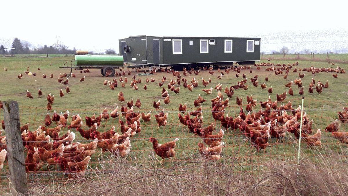 Geflügelpest droht, sich zu verbreiten – Geflügelhalter sollten unbedingt Schutzmaßnahmen einhalten
