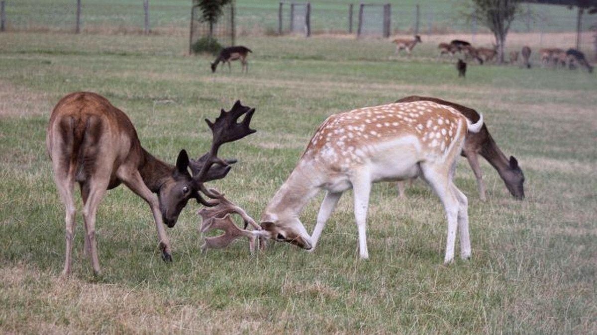 Wild passt gut in die Vorweihnachtszeit – Damwild hat jetzt Saison – Wildtierhalter bieten zartes Fleisch an