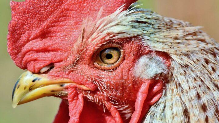 Geflügelpest: Ministerin Otte-Kinast stellt Krisenfall fest