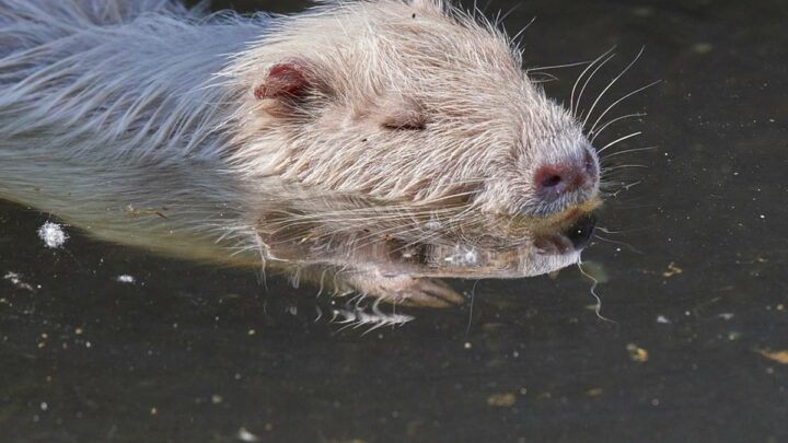 Keine Fütterung von Tieren in Grün- und Parkanlagen – Unnötige Versorgung von Nutrias und Co. führt zu großen Problemen