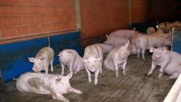 Bezahlter Ausstieg aus der Schweinehaltung? – In einer Befragung der Uni Kiel zeigen sich Landwirte aufgeschlossen
