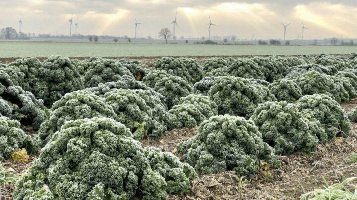 Grünkohl: Heimisches Superfood hat jetzt Saison – Niedersachsen ist traditionelles Anbaugebiet – Gestiegene Nachfrage in Hofläden
